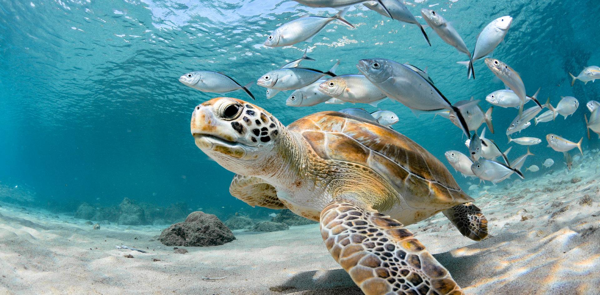 Tartaruga nuota in un oceano pulito